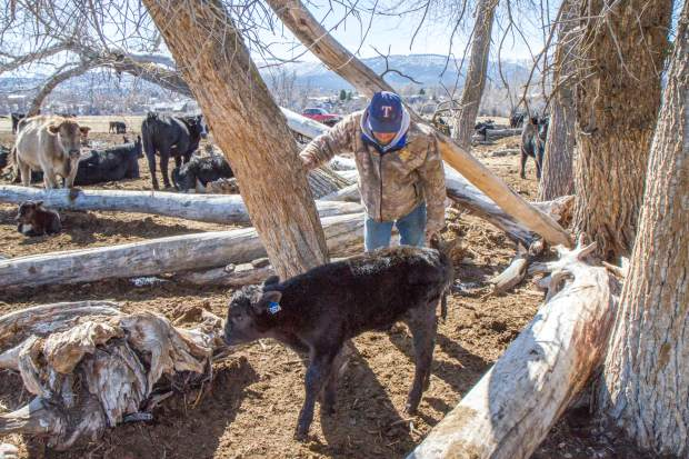 Parker Nieslanik checks on a sick calf that was trying to hide from the wind behind a patch of fallen trees.