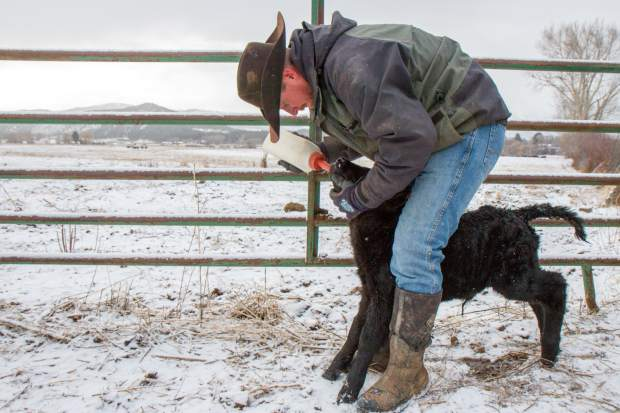 Parker Nieslanik feeds a newborn calf a milk supplement to help ensure it receives the adequate nutrients needed to grow strong in its first couple of days of life.