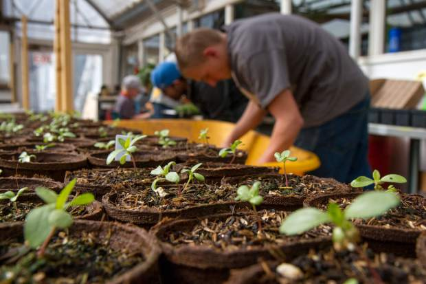 The greenhouse staff started planting seeds in late January and will continue tending to the plants until late June.