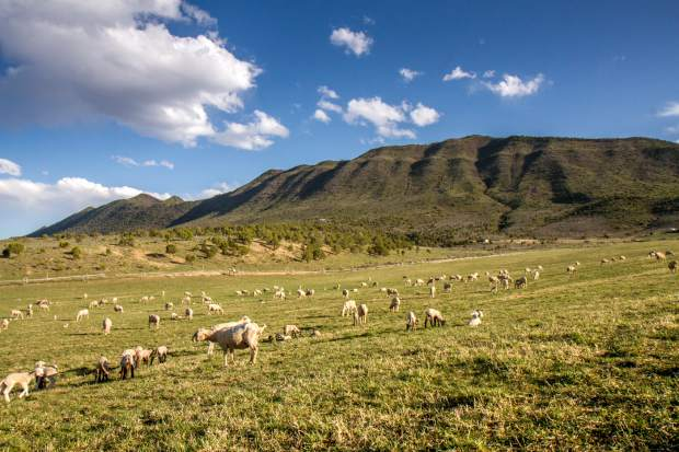 The Robertses currently own around 1,400 ewes and will expect nearly 2,300 lambs by the end of the season.