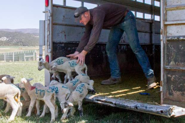 Derek Roberts directs a group of ewes and their lambs to an open field once they have been cleared to leave the lambing pins.