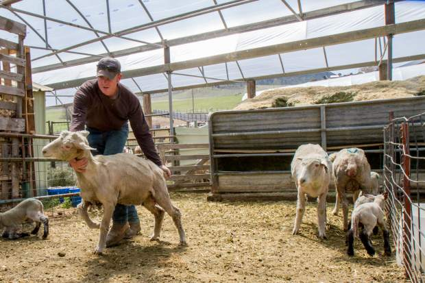 Derek Roberts separates the ewes and their lambs that are healthy enough to leave the lambing pins.