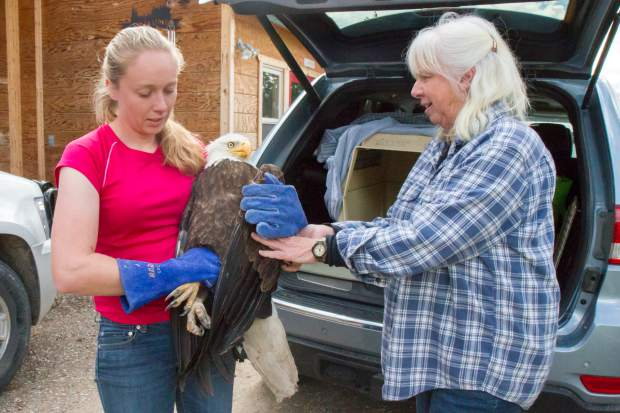 Erin and Nanci take in a bald eagle that was found injured and walking on the ground. It appeared the eagle had been on the ground for some time by the looks of the damage done to the tail feathers.