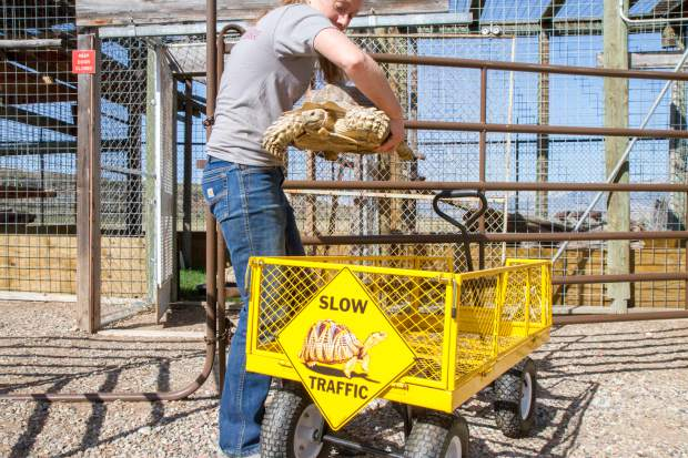 Erin moves the resident sulcata tortoises to their outdoor enclosure.