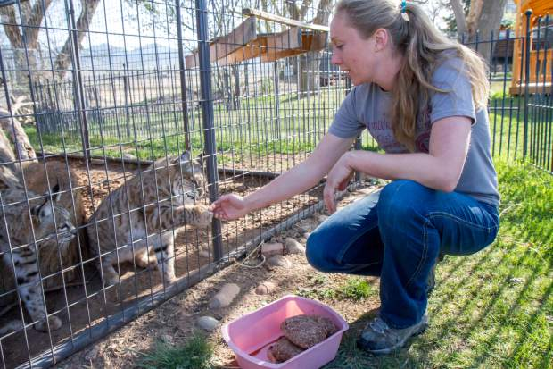 Erin Romero feeds the resident bobcats their portion of raw meat. The bobcats were once bought by a family from an exotic breeder but quickly outgrew the home.