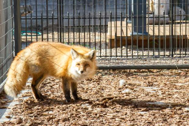 Resident fox Sandy was taken from another rehabilitator who was shut down for making pets out of the animals that were supposed to be released.
