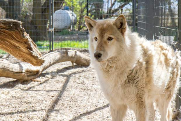 Resident wolf Apache who was seized with another wolf from an illegal possesion. They could not be released due to legal reasons and Apache who is now 12 will spend his remaining years at the facility.
