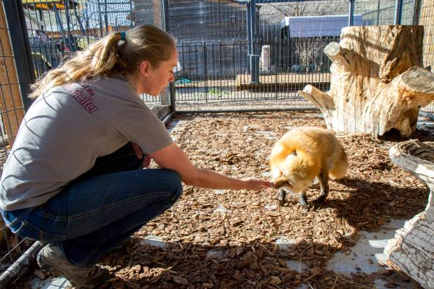 Pauline S. Schneegas employee Erin Romero works with resident fox Sandy who was taken from another rehabilitator who was shut down for making pets out of animals that were supposed to be released.