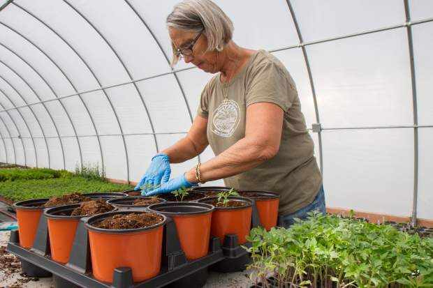 Sarah Rumery plants young red pear heirloom tomatoes.