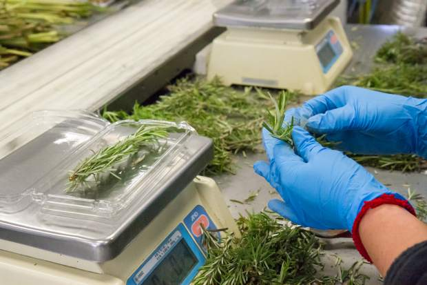 Employees work to package up rosemary, which will be sent off to stores around Colorado.