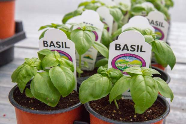 Basil is one of the top sellers at Osage Gardens.