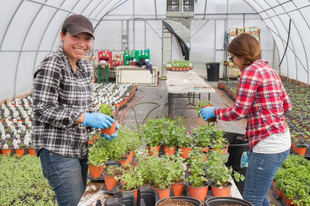 Nancy Hurtado, left, and Mayra Madrid work on trimming plants as part of a required maintenance for plant health.