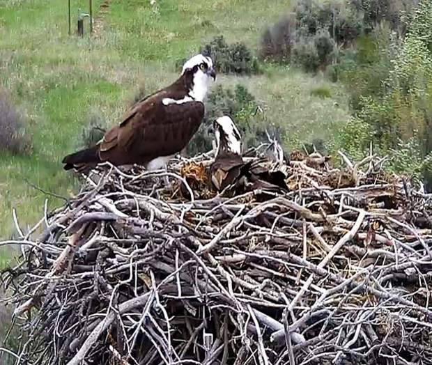 The osprey cam caught both birds in the nest one recent day. The birds mate for life.