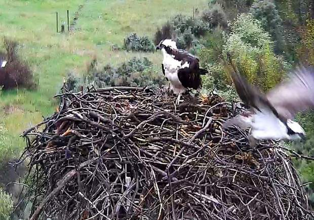 The osprey cam captures a changing of the guard at the nest in Emma one recent day.