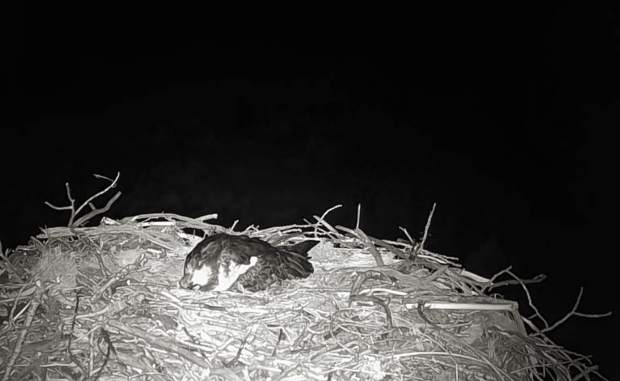 The osprey cam collected this brief respite for one of the raptors on the nest in Emma last year. Open space staff reports that they rarely see the osprey sleeping.