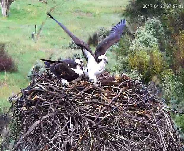 A female osprey stretches her wings while her mate provides relief at the nest in Emma April 27. Observers from Pitkin County Open Space and Trails said the male frequently brings the female a fish for breakfast. She will fly off to eat while he guards the eggs.