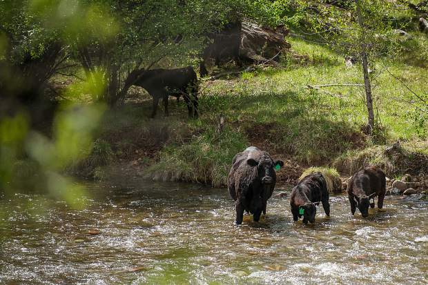Cows wade into the Roaring Fork River off of Willits Lane in Basalt on Tuesday.