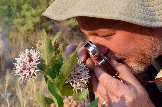 Dave Anderson, director and chief scientist for the Colorado Natural Heritage Program, examines a milkweed plant at a ranch north of Rifle. Milkweed has recently been threatened by use of herbicides, and conservationists have given the plant more attention, as Monarch butterfly larvae feed on the plant.