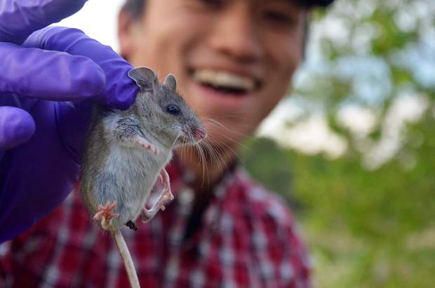 Colorado State University student Terutaka Funabashi holds a deer mouse captured north of Rifle in a biodiversity study the university's Colorado Natural Heritage Program calls a