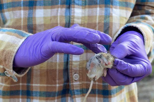 After retrieving a mouse by the scruff of its neck, a student strokes the animal before releasing it back into the brush.