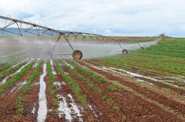 A young field of curly kale, tomatoes and other produce is irrigated in what has been a very hot and dry season for growers.