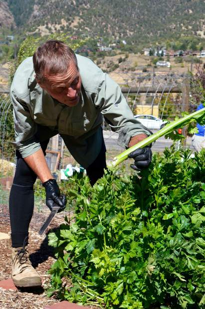 Paul Jankauskas pulls out a thick stalk from a dense patch of celery on his plot.