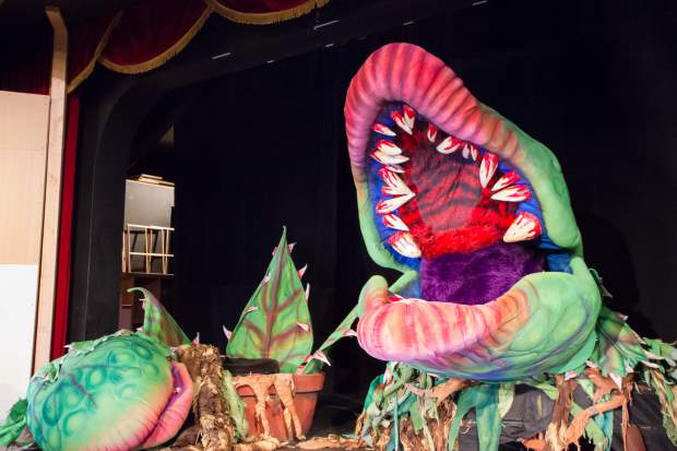 "Audrey II becomes a dominant character in more ways than one. She's consumed people whole, and during the finale she occupies a quarter of the Vaudeville's stage. At this phase, she can stretch to as much as 9.5 feet tall, and her nose will at moments extend over the audience. ""The plants are fun. They make you laugh. You go away talking about that,"" said Goss, who has been part of five previous productions of the show. But the story is really about Seymour and Audrey, he said. ""This show in general has the possibility of having a lot of heart,"" Goss said. It's a great story, great, great characters. My two leads sound phenomenal."" Really, the story is more about the relationship between Seymour and Audrey. Weight: 28.5 pounds"