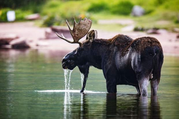 Stuart Bass of Colorado Springs took this picture of a moose at Maroon Lake to be one of the Post Independent's two September winners in our Summer Fun photo contest. He wins two passes to Glenwood Caverns Adventure Park. Overall, readers this summer won more than $1,600 in prizes from Summit Canyon Mountaineering and Glenwood Caverns.