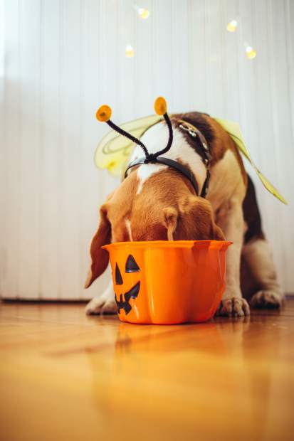 Pet Talk: Dangers of fall to avoid: candy, rat poison, antifreeze