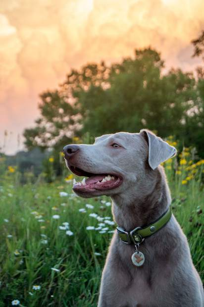 Moose is a 2-year-old male silver lab from Glenwood Springs. His favorite activity is hunting. He couldn't decide on a favorite treat or toy, but he definitely knows his best friend is his brother Hazel.