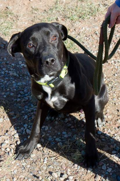 Black lab Smokey is still available for adoption at CARE.