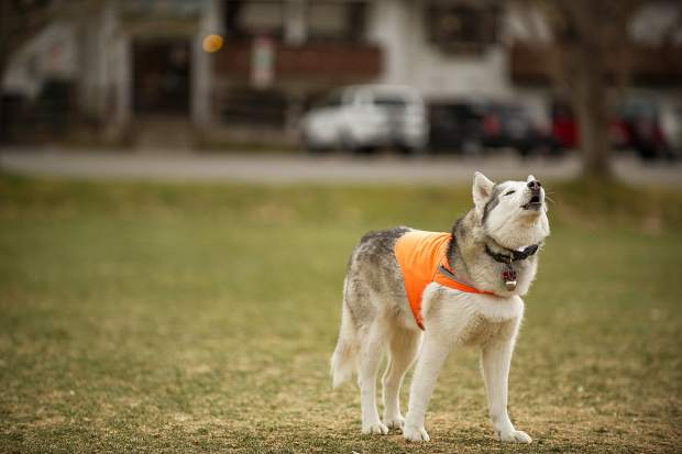 Kash the husky lets out a howl in Wagner Park on Thursday during the overcast afternoon.