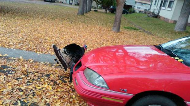 Amanda Jones shared this photo of the famous Glenwood turkey checking out her car. (Provided)