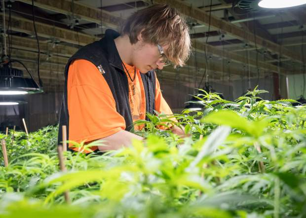 Blake Wilson tends to plants at the Colorado Hemp Institute in Parachute