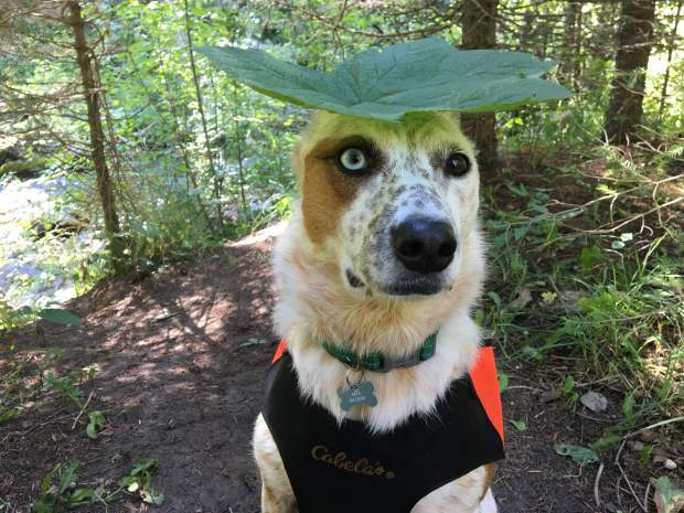 Kiva the cattledog loves to hike, and Avalanche Creek is one of her favorites. Follow her adventures at instagram.com/kiva_cattledog.