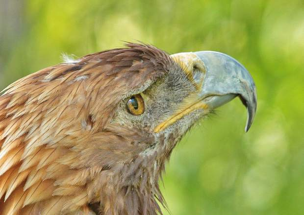 A close up photo of a golden eagle.