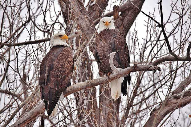 Two bald eagles peer down from their perch in a tree.