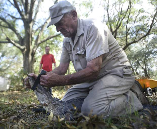 Jimmy English with Wildlife Removal Service secures the mouth of a five and a half foot alligator that was found under a house off Shipyard Blvd. in Wilmington N.C., Sunday, Sept. 23, 2018. English said that it's not unusual to find alligators that have become disoriented after a major storm. He expects to see more when all of the waters recede. (Matt Born/The Star-News via AP)