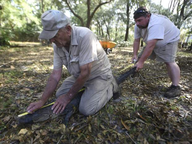 Jimmy English, left, and Bubba English with Wildlife Removal Service measure a five and a half foot alligator that was found under a house off Shipyard Blvd. in Wilmington N.C., Sunday, September 23, 2018. English said that it's not unusual to find alligators that have become disoriented after a major storm. He expects to see more when all of the waters recede.(Matt Born/The Star-News via AP)