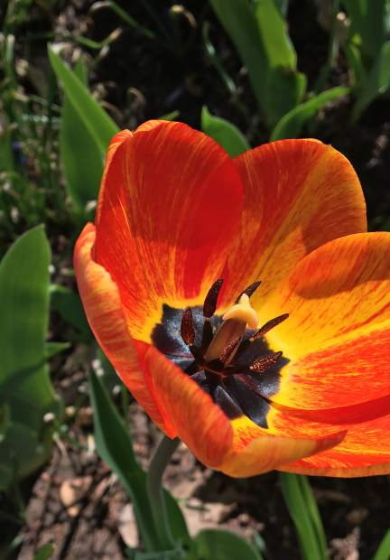 Bright oranges and yellows shine from the inside of a tulip blooming near the Garfield County Courthous in Glenwood Springs.