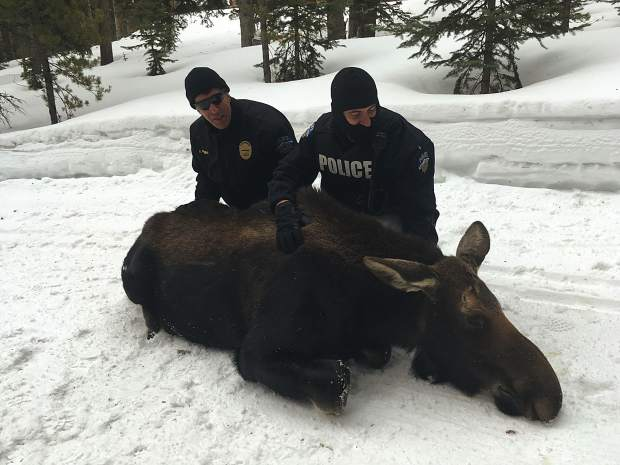 A sedated moose in the Breckinridge