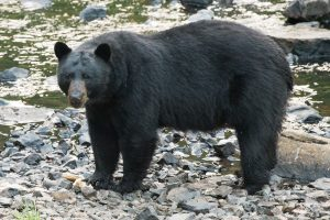 Tips to stay Bear Aware when camping and hiking in Colorado