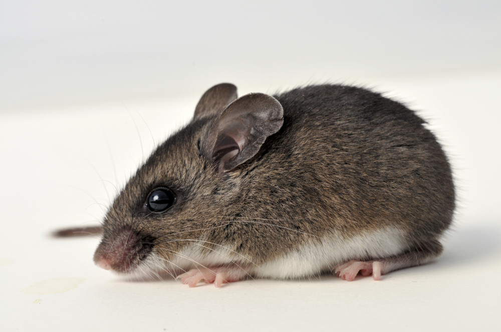 Beware of deer mice carrying hantavirus