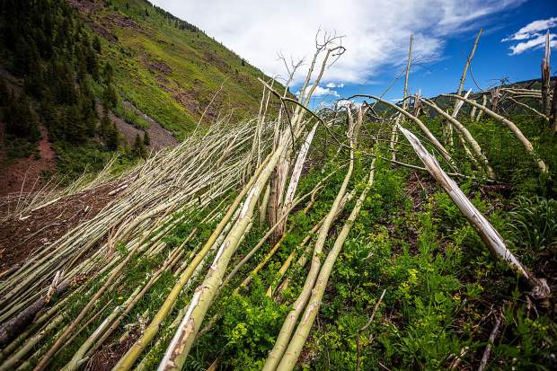 Aspen trees remained flattened after a devestating avalanche in the Conundrum Creek Valley in March.