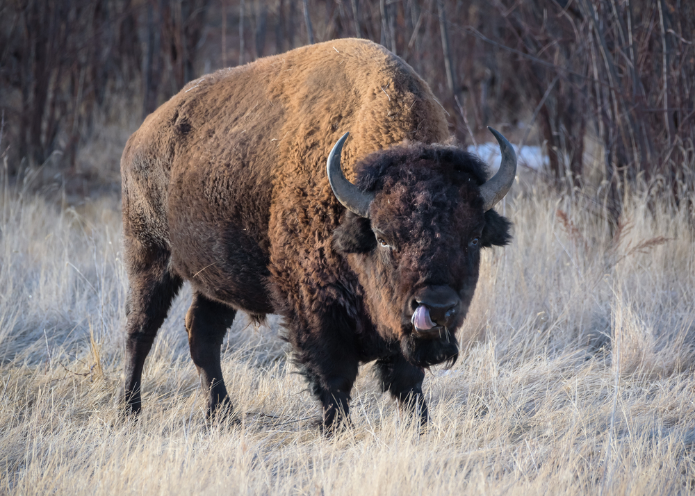 bison in colorado