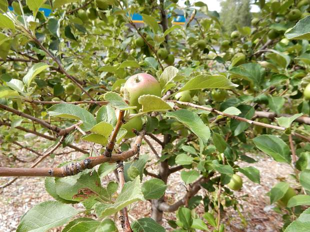 An apple ripens at Basalt's edible garden. The varieties of trees include Chinese apricot, Bartlett pear, Harko nectarine and Blue Damson plum.
