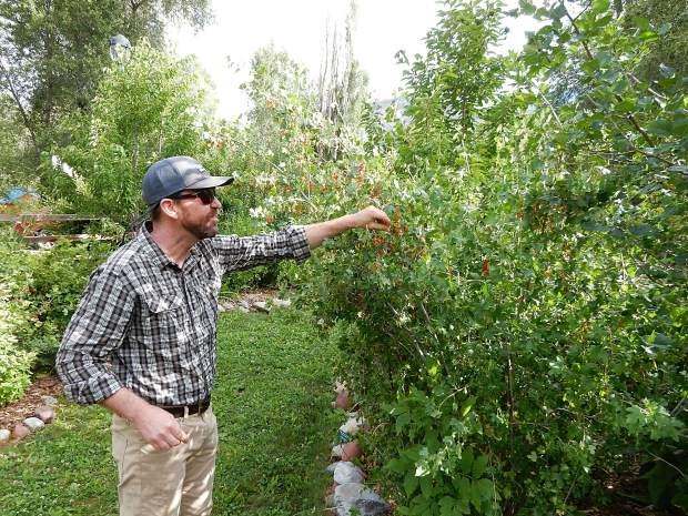 Basalt Town Manager Ryan Mahoney checks out currants at the edible garden in Ponderosa Park. He said he stops by often to 'graze.'