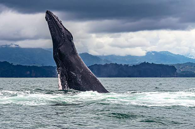 A humpback whale breaching the surface of Marino Ballena National Park.
