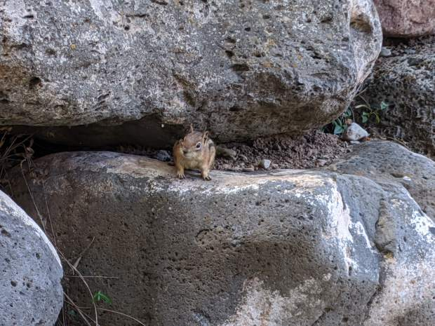 A common chipmunk, but this one apparently has the intuition and patience to wait for tomatoes to ripen on the vine before picking and eating them.