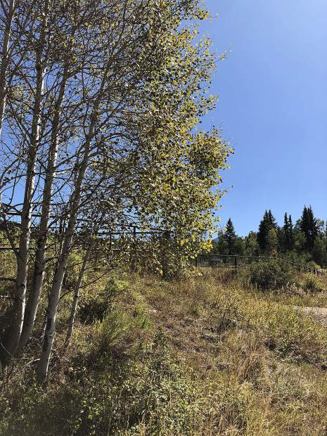 Travelers have noticed that some aspen leaves are turning a sickly brown color and dropping off trees in pockets of national forest in Colorado this year. That was the case with this tree Saturday on Kebler Pass.